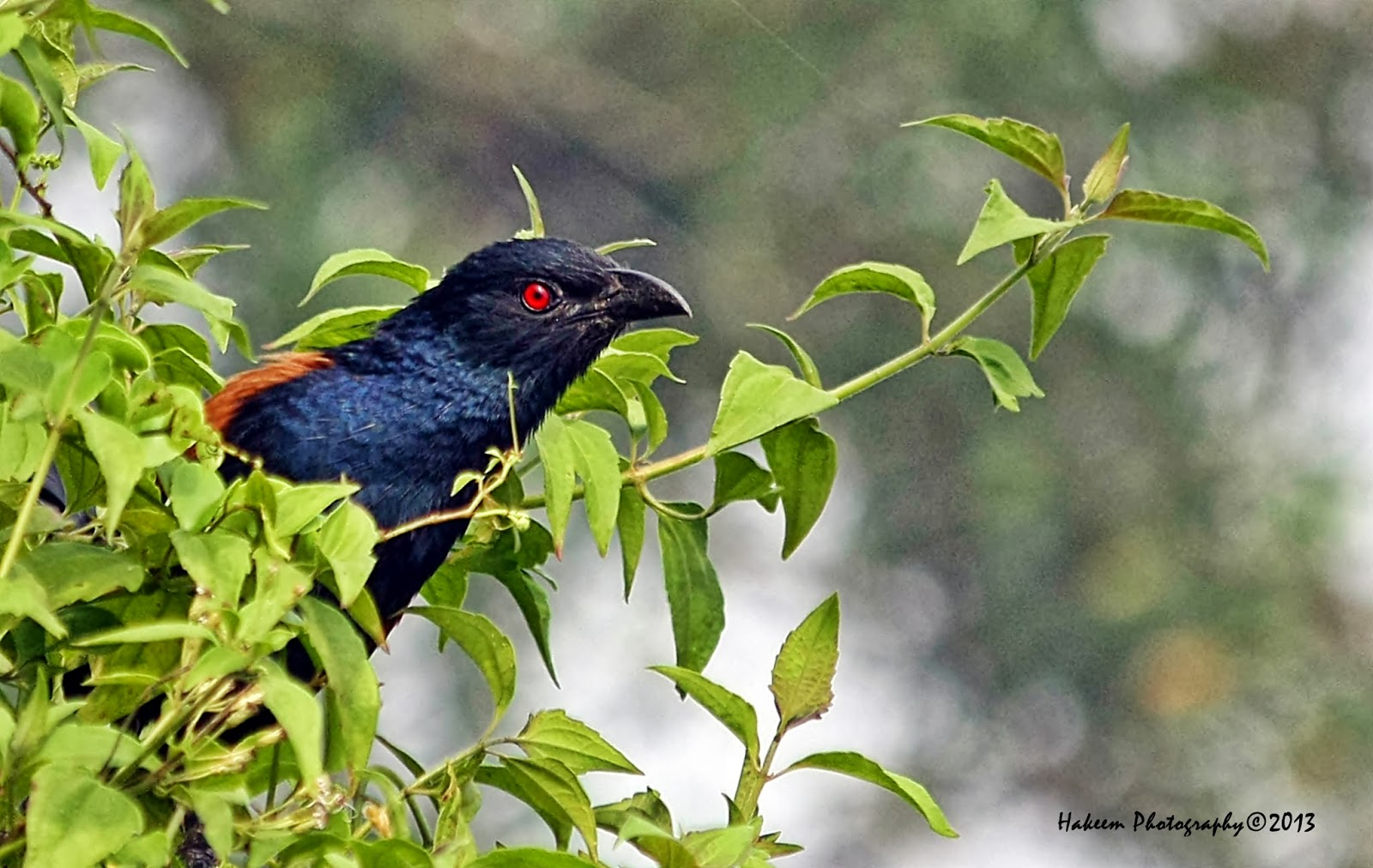 The Lesser Coucal Bird
