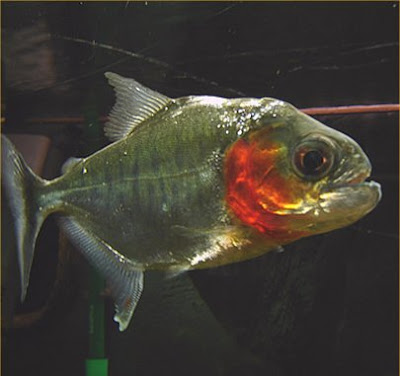 Piranha fish with images fish pictures online for Pictures of piranha fish