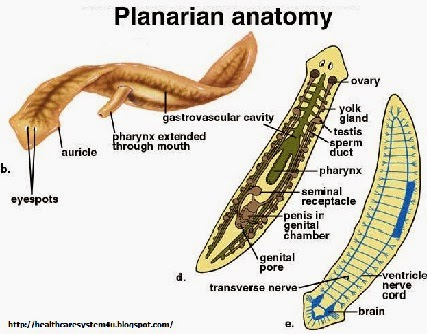 Planaria Diagram | www.pixshark.com - Images Galleries ...