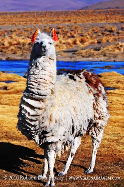 lhama ou alpaca