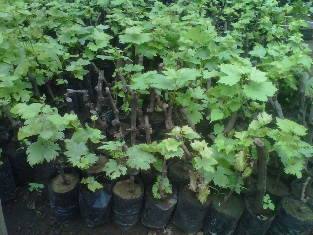 Budidaya Anggur Berkualitas Dan Uktif Grapes Tanaman Buah Anggur