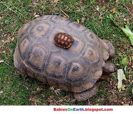 BABIES and Beautiful Mom: baby Desert Tortoise