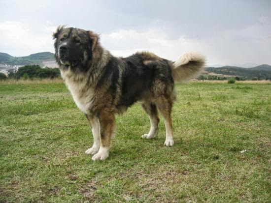 Función del pastor del Cáucaso