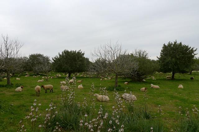 Ovejas descansando en Mallorca