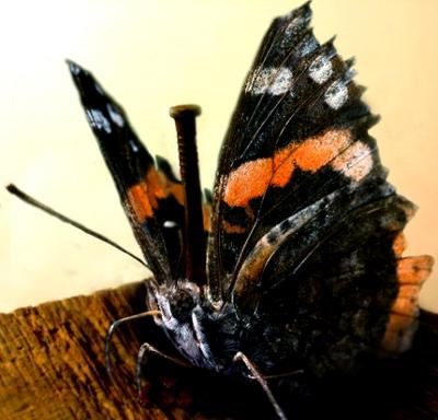 Sommerfugl gennemboret af søm