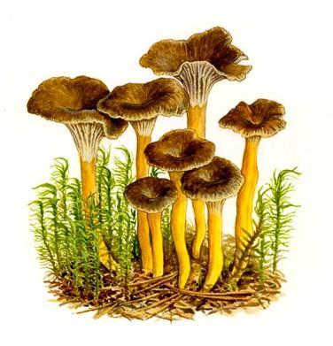 Cuisine en folie voles au vent aux chanterelles - Dessin de champignons a imprimer ...