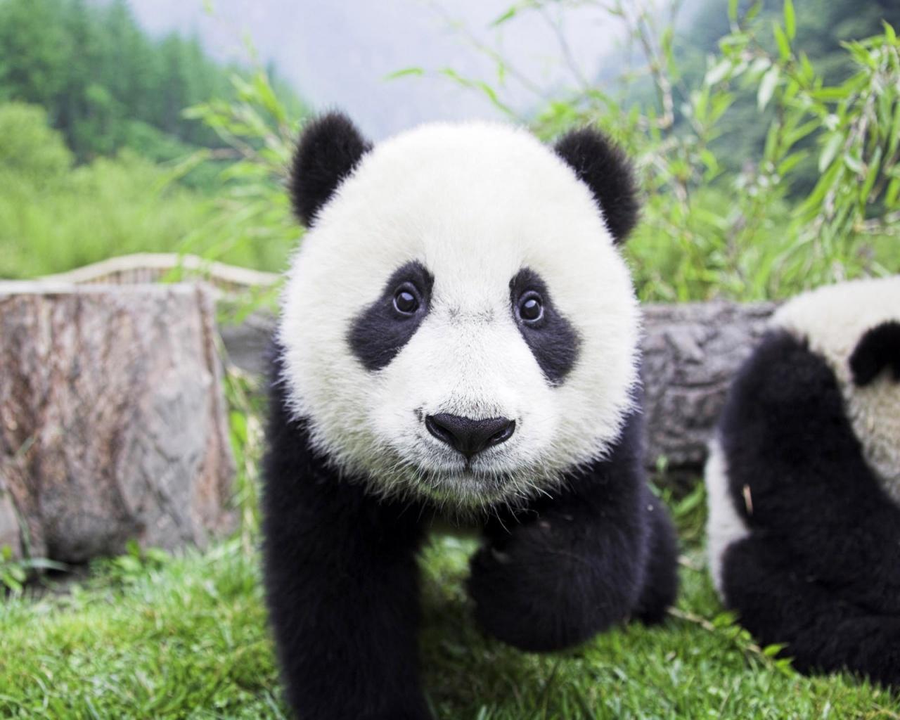 gambar panda cute - foto hewan