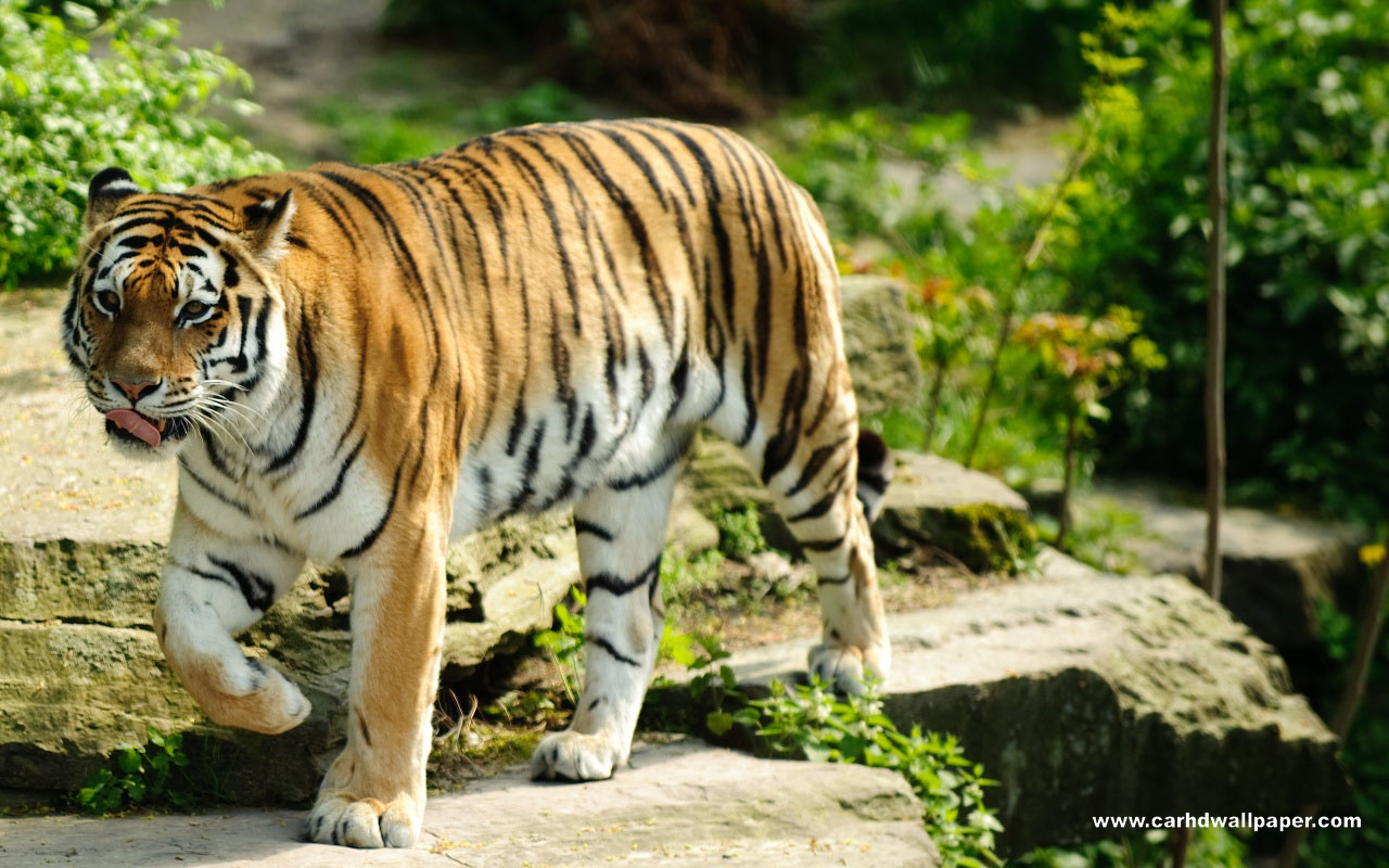 tiger hd wallpaper widescreen ~ hd wallpapers collection