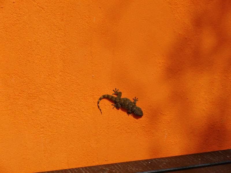 lizard portugal