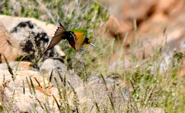 Swallow-tailed Bee-eater in flight