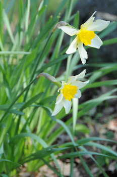Narcissus etruscus (Narciso nostrale)