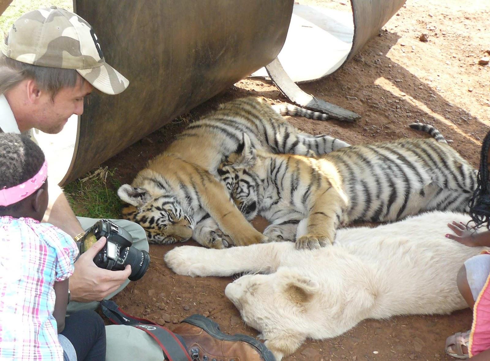 tijger aaien in nederland