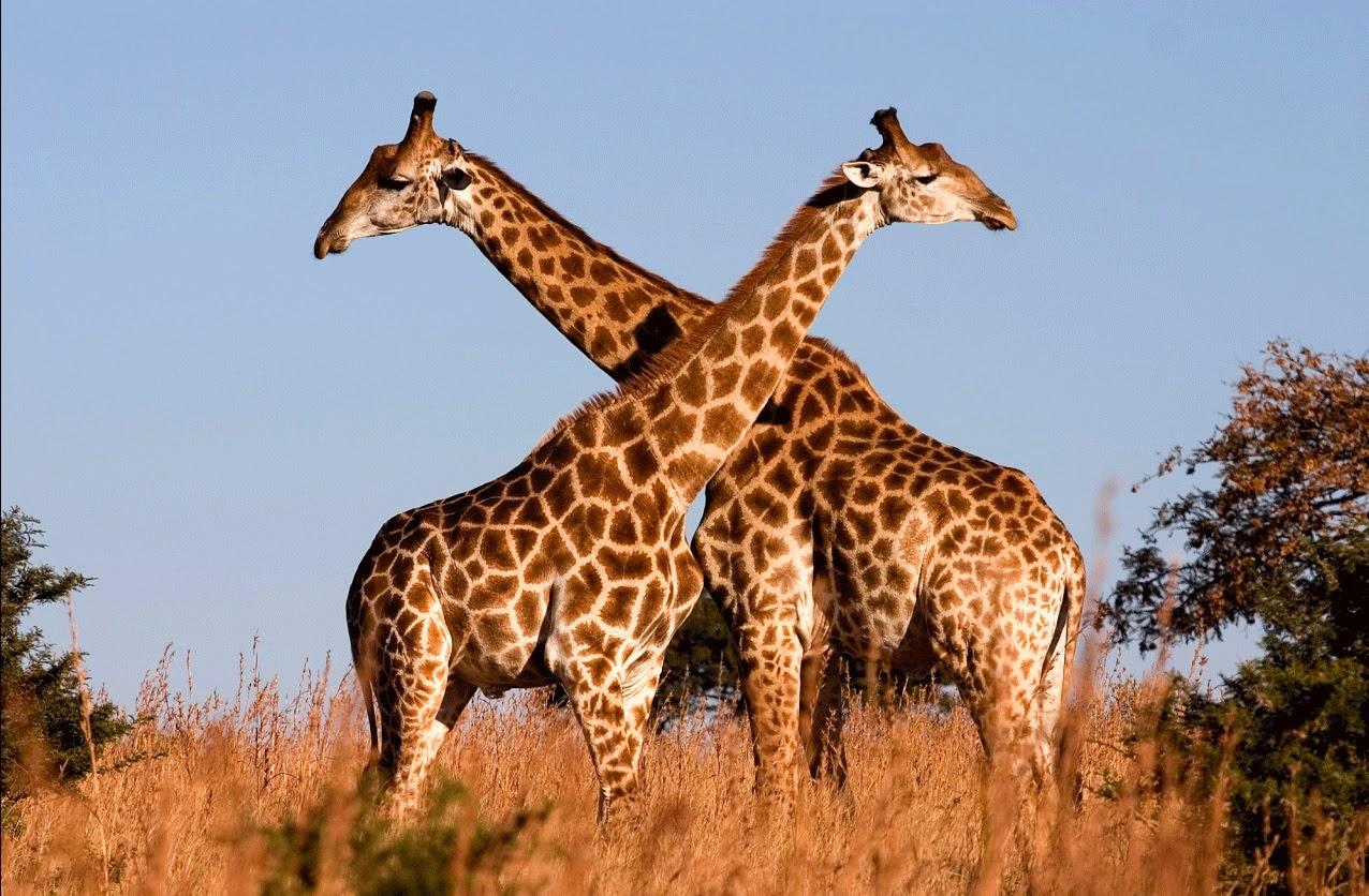 jirafas duermen solo 7 minutos al dia
