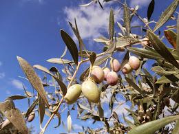 Ripening Olives, October 2014