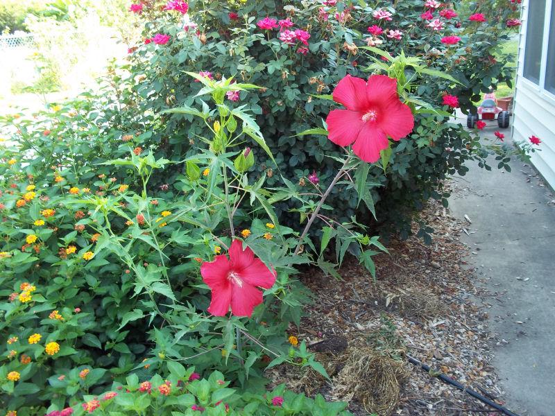 Davys Louisiana Gardening Blog Lord Baltimore Hardy Hibiscus