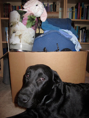 Black lab Romero is lying on the floor of our bedroom in front of a very big cardboard box filled with items for our upcoming garage sale. Only Romero's head and shoulders are visible. He is looking slightly off to the side with his silly left ear folded back against his head. The objects in the box are pretty random, but visible is a chair for a doll, a stack of clothes on top of a blue pillow, and a big white stuffed bunny sitting in a small wastebin decorated with pictures of poodle puppies. Behind Romero and the box are two bookshelves filled with books.