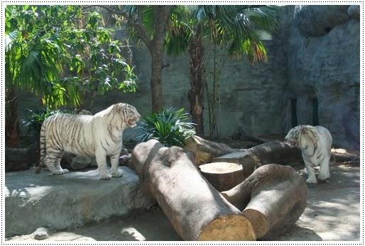 White tiger - Botanical Garden Ho Chi Minh