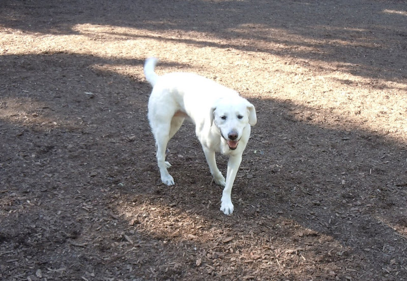 Labrador Libby at the Dog Park