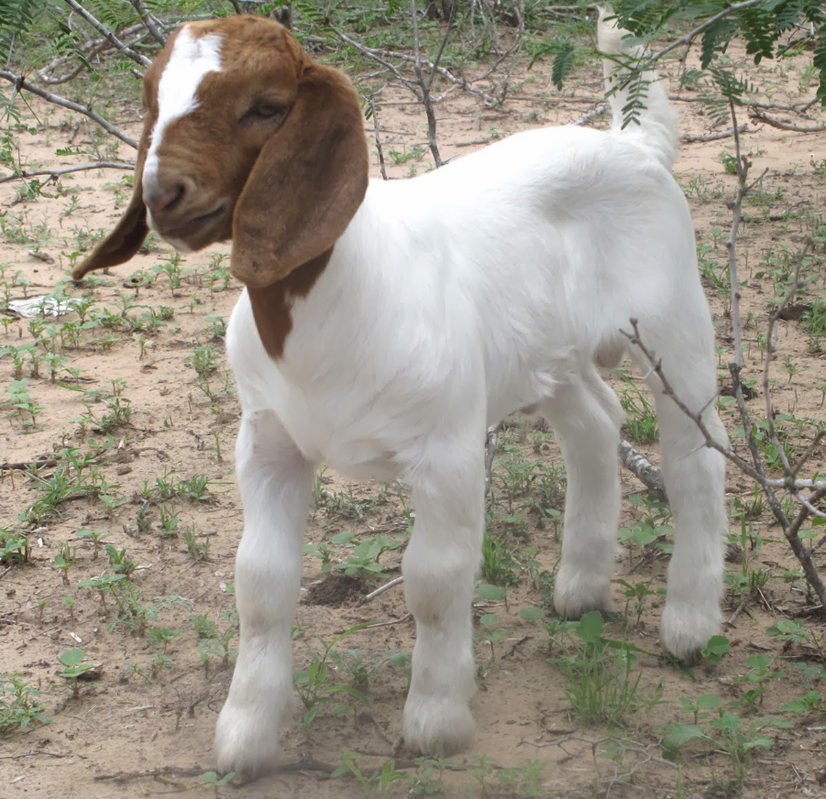 Baby Boer Goats Playing