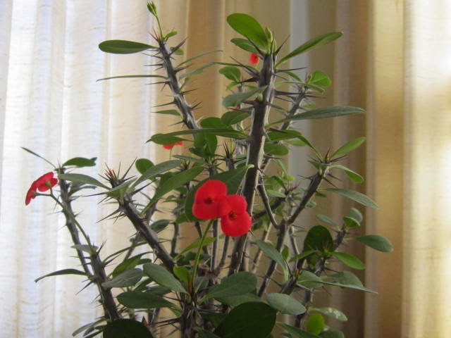 Lovenloot crown of thorns plant for Crown of thorns plant