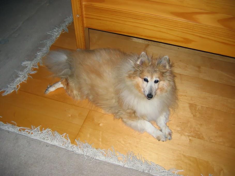 * Lassie, unsere 2. Hündin *