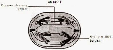 Tahap anafase 1