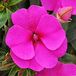 Gardening in vermont perennials and annuals new new guinea impatiens mightylinksfo