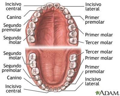 Anatomía bucodental