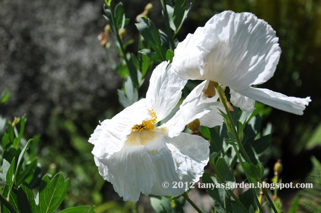 Mysecretgarden my new love romneya these pictures of romneya were taken in different gardens last summer i hope my own plants will bloom in june mightylinksfo
