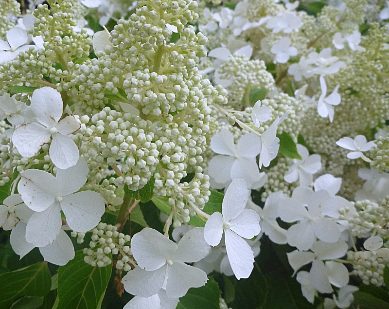 hydrangea paniculata die rispenhortensie 39 butterfly 39. Black Bedroom Furniture Sets. Home Design Ideas