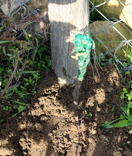 One of the new vines, planted out