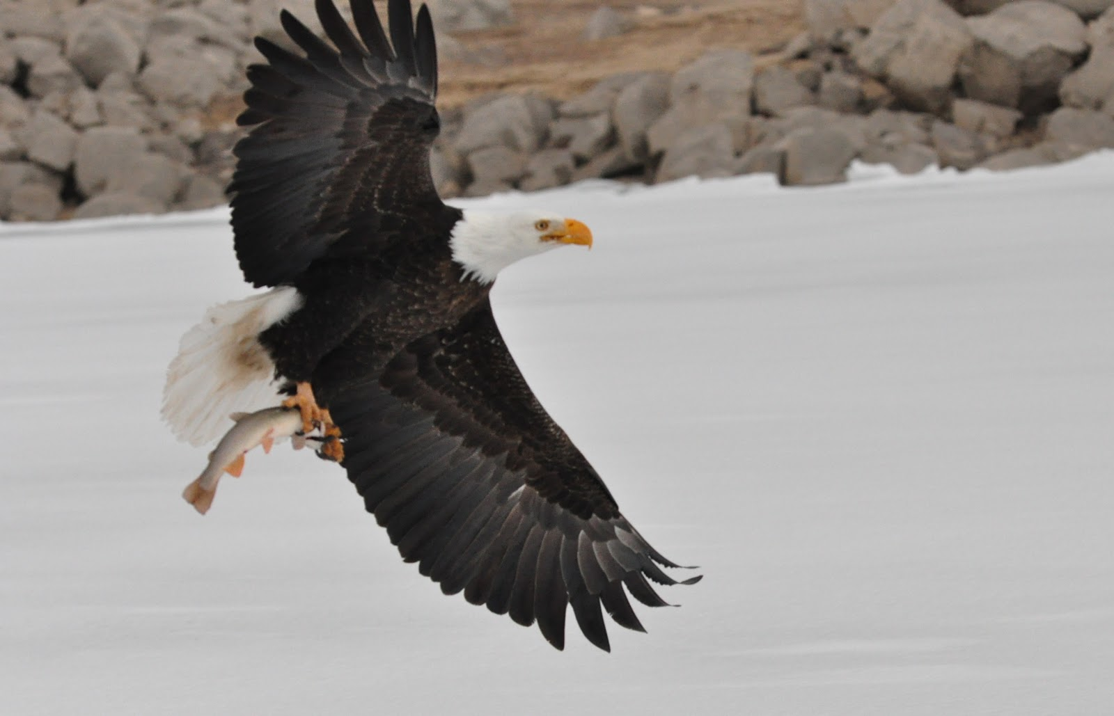 eagle attack - photo #34