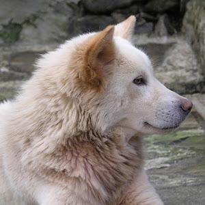 Kintamani Bali Dog