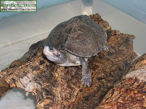 Brown roofed turtle - Pangshura smithii