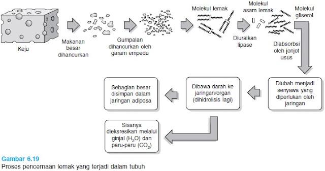 proses mencerna lemak