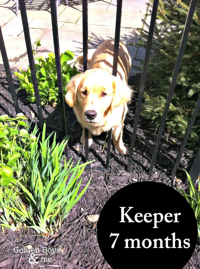 Golden Retriever puppy stuck in fence-www.goldenboysandme.com