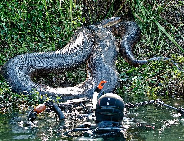 Foto ular terbesar di kalimantan tengah 40