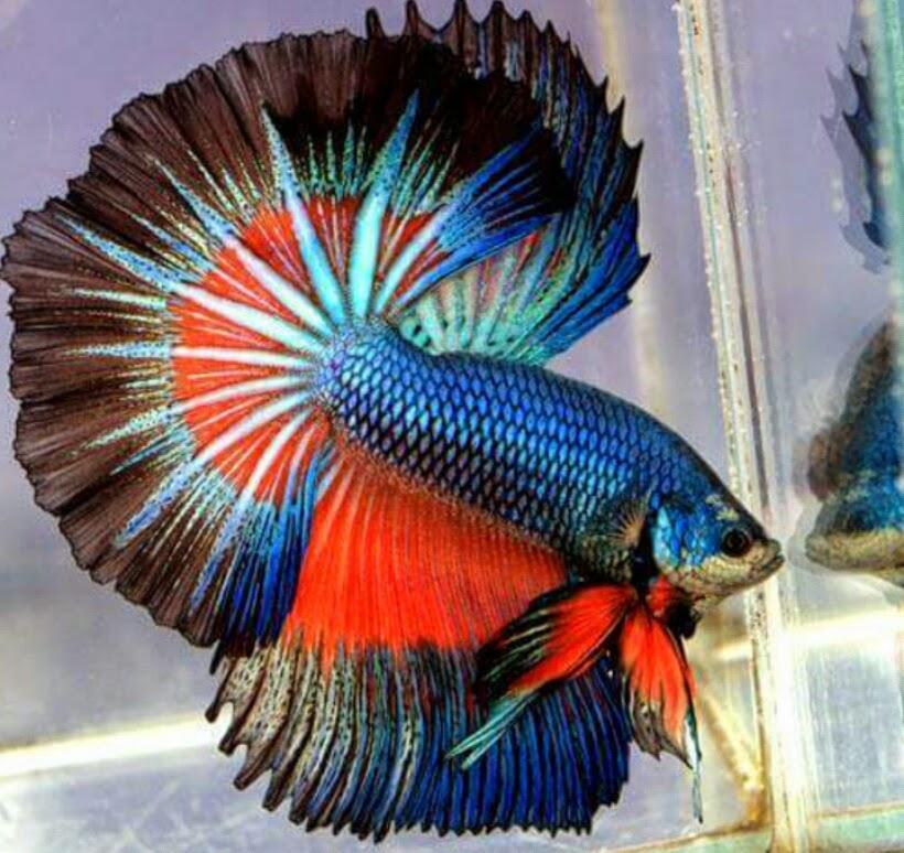 Ikan Laga Comel