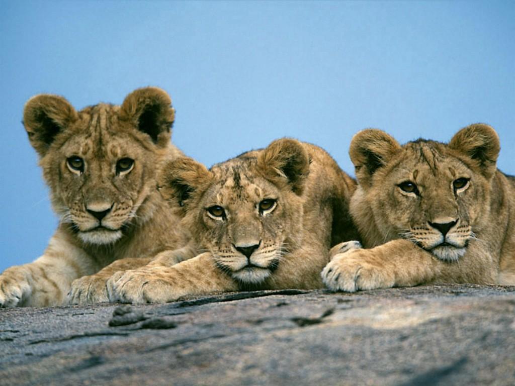 http://2.bp.blogspot.com/-zJmmd7oFe6c/TnhpoT9SfEI/AAAAAAAAA4o/anRZcJLu84g/s1600/lion_cub_wallpaper-2.jpg