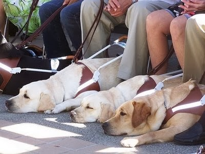 picture of three golden lab guide dogs all laying down side by side with their handlers' knees showing that they are sitting