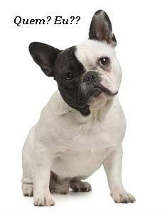 bulldog frances+branco