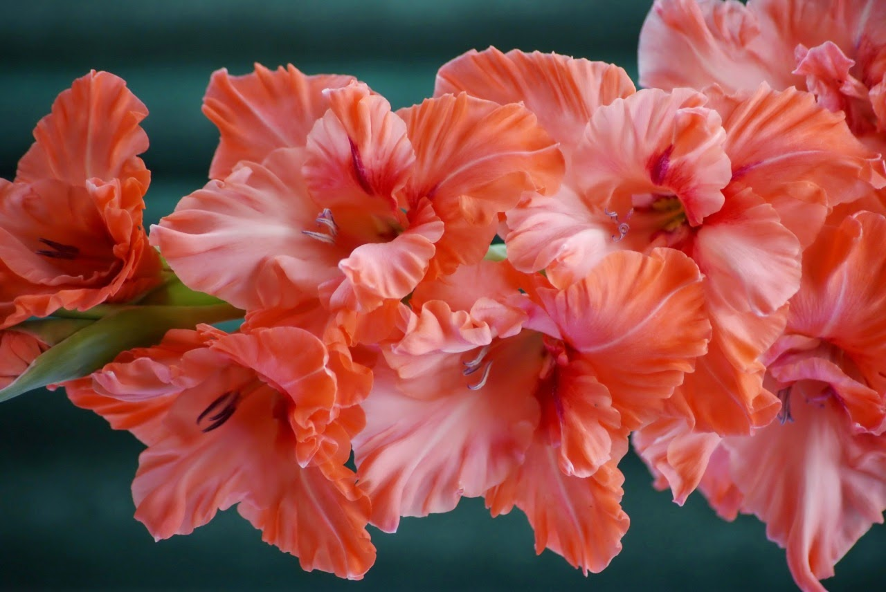 http://2.bp.blogspot.com/-zKWFLM5t1Fw/VVeklwFtKlI/AAAAAAAAZ6c/TY0c6MAomnw/s1600/Gladioluses%2BCloseup%2BPink%2Bcolor%2BFlowers%2BWallpapers%2Band%2Bphotos.jpg