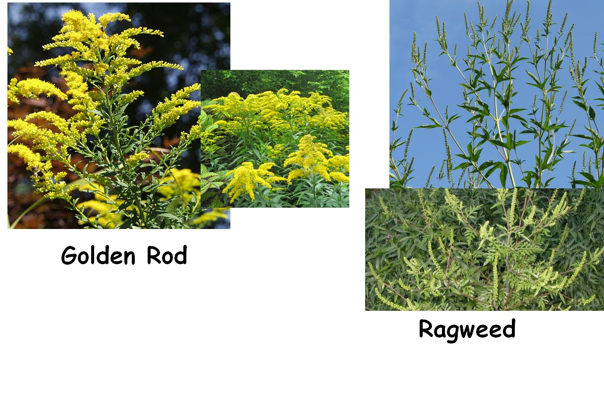 Ragweed Pictures Bloom Invisible Ragweed Blooming