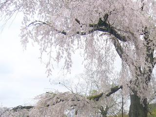 京都市・円山公園の枝垂れ桜