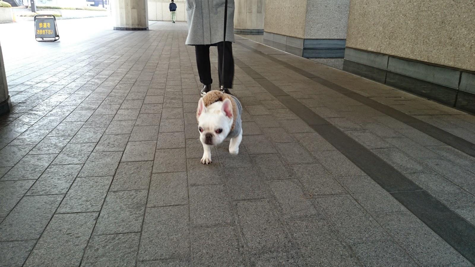 フレンチブルドッグのフジ お散歩スタート