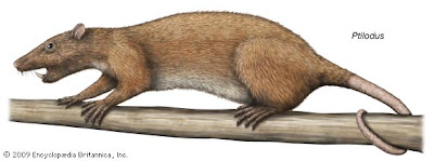 multituberculata Ptilodus paleocene mammals