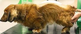 crises de coluna em cães