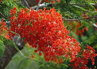 Bunga Flamboyan yang Cantik