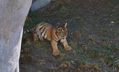 columbus zoo baby tigers
