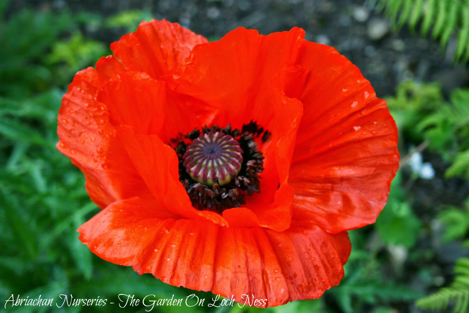 Oriental Poppies Papaver orientale Abriachan Nurseries